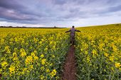 image of rape  - Rape field landscape. Calm rural countryside landscape with field of blooming rape.