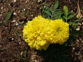 pic of marigold  - A close up of yellow blooming African marigold plants in a garden - JPG
