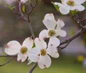 image of dogwood  - Dogwood flower with a blurred background from Pittsburgh - JPG