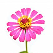 picture of zinnias  - Pink Zinnia Elegans flower Isolated on White Background - JPG
