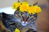 image of tabby-cat  - domestic pet tabby cat wearing flower crown of spring dandelions - JPG