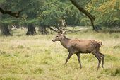 picture of male-domination  - Male red deer Cervus elaphus in a forest in autumn  - JPG