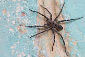 stock photo of creeping  - Big wolf spider is creeping on the old wall - JPG