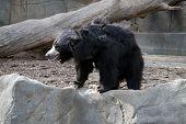 stock photo of bear  - The sloth bear  - JPG