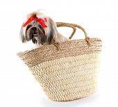 picture of dog breed shih-tzu  - Cute Shih Tzu in wicker bag isolated on white - JPG