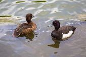 stock photo of duck  - A pair of ducks tufted duck floating in a pond - JPG