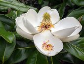 stock photo of magnolia  - TIght shot of a huge white magnolia blossom against the dark green tree leaves - JPG