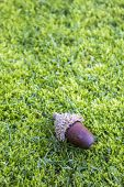 pic of acorn  - Acorns on a moss lawn background - JPG