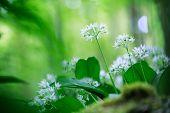 picture of wildflower  - wild garlic - JPG