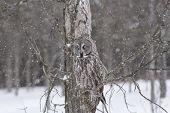 image of snow owl  - A lone Great Grey Owl in a winter scene - JPG