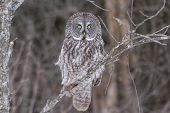 pic of snow owl  - A lone Great Grey Owl in a winter scene - JPG