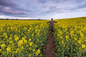 image of rape-field  - Rape field landscape. Calm rural countryside landscape with field of blooming rape. ** Note: Shallow depth of field - JPG