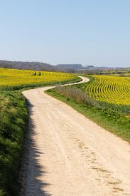 picture of rape-field  - Meandering foot path dirt track winding through farmland fields of bright yellow rape seed oil crops - JPG