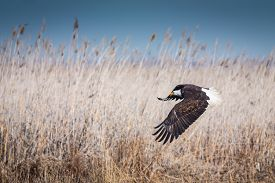 pic of eagles  - Bald Eagle (Haliaeetus leucocephalus) bird in flight. The eagle has just taken off from ground level and is rising up from the reeds. ** Note: Soft Focus at 100%, best at smaller sizes - JPG