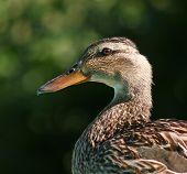 Duck Portrait Tight poster