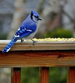 stock photo of eat me  - Blue Jay getting ready to eat corn during the fall season - JPG