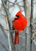 picture of fluffing  - Bright red male northern cardinal perched on branch in winter - JPG