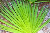 stock photo of saw-palmetto  - The frond of a saw palmetto  - JPG