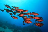 stock photo of bigeye  - Shoal of Crescent-tailed Bigeye fish on a coral reef