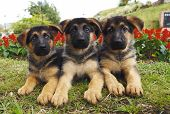 pic of german shepherd dogs  - three pure breed german shepherd puppies sitting in a row