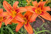 ������, ������: Beautiful Tiger Lilies In Garden