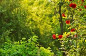 stock photo of bine  - bush of blooming red roses in summer garden - JPG