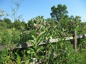 Prarie Milkweed against wooden fence