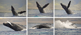 stock photo of gentle giant  - A Breaching Humpback Whale off the coast of Maui - JPG