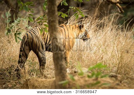 poster of Wild Bengal Tiger (panthera Tigris Tigris) Walking In Forest During Hot Day In Its Natural Habitat.r