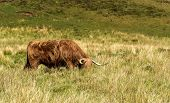 Highland Cattle Are A Scottish Cattle Breed. They Have Long Horns And Long, Wavy, Woolly Coats And A poster