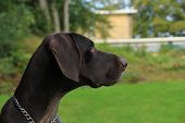 Portrait Of A German Shorthaired Pointer, 3 Year Old Male poster