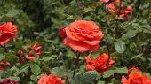 Red Big Roses In The Rose Garden, Pictures Of Natural Roses, Love And Red Rose, Rose Buds, Red Rose  poster