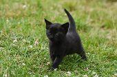 Little Black Kitten In Grass. Animal Background, Small Kitty Outside poster