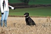Portrait Of An Obedient Black Labrador Retriever Sitting In A Field In Front Of A Dog Trainer poster