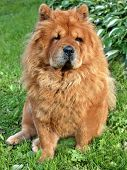 Sitting Brown Chow Chow Dog