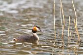 stock photo of great crested grebe  - great crested grebe swimming in the water - JPG