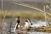 foto of great crested grebe  - great crested grebe are building the nest - JPG
