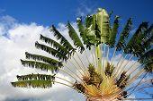 Ravenala palm - symbol of Madagascar poster
