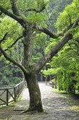 stock photo of camphor  - green fresh camphor tree in Japanese park by summer - JPG