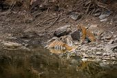Wildlife Scene Of Tigress And Her Cub. Angry Looking Female Bengal Tiger And Her Cub With Face Expre poster