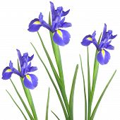 stock photo of purple iris  - Three blue iris isolated against a white background - JPG