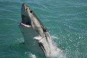stock photo of great white shark  - Great white Shark breaching the water surface - JPG