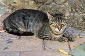 Homeless Cat Yawns Lying On The Pavement. Concepts For Homeless Animals, Parasites, Vaccinations, St poster