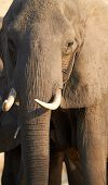 image of veld  - Portrait of an African elephant  - JPG