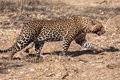 Leopard With Bloody Snout Walking In Chobe National Park, Botswana, Africa poster