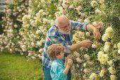 Gardening - Grandfather Gardener In Sunny Garden Planting Roses. Senior Man With Grandson Gardening  poster