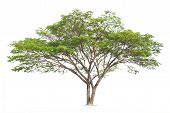 Samanea Saman, Rain Tree, Isolated On White Background. Tropical Trees Isolated Used For Design, Adv poster