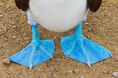 pic of blue footed booby  - Close - JPG