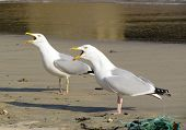 image of st ives  - Two seagull birds squawking with beaks wide open - JPG