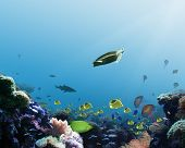 picture of coral reefs  - underwater coral reef scene depicts fish jellies and a turtle - JPG